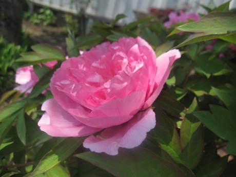 ブログをさぼったら色々なお花が咲いてきた~_a0279743_1563866.jpg