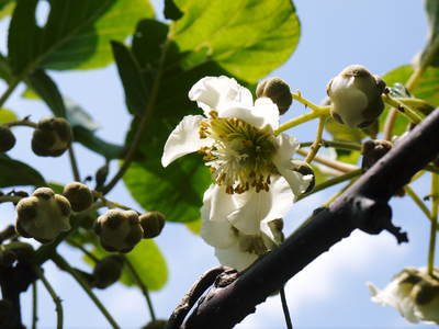水源キウイ 開花から交配、着果、そして摘果作業の話し(2020年) _a0254656_18301662.jpg