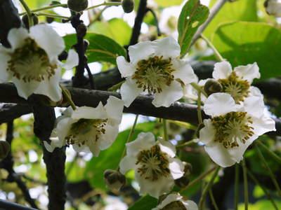 水源キウイ 開花から交配、着果、そして摘果作業の話し(2020年) _a0254656_1835257.jpg