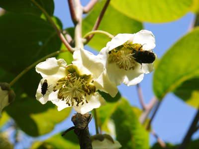 水源キウイ 開花から交配、着果、そして摘果作業の話し(2020年) _a0254656_18385740.jpg