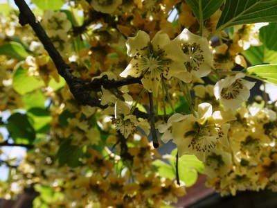 水源キウイ 開花から交配、着果、そして摘果作業の話し(2020年) _a0254656_1851842.jpg