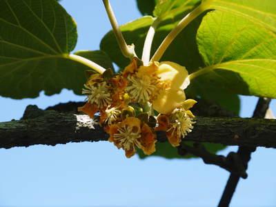 水源キウイ 開花から交配、着果、そして摘果作業の話し(2020年) _a0254656_185251100.jpg