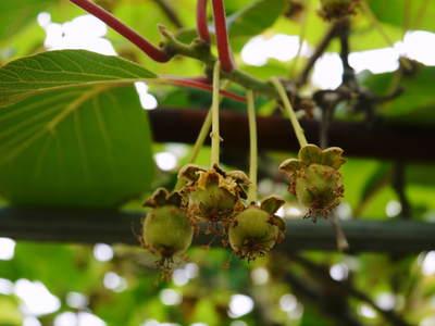 水源キウイ 開花から交配、着果、そして摘果作業の話し(2020年) _a0254656_19029100.jpg