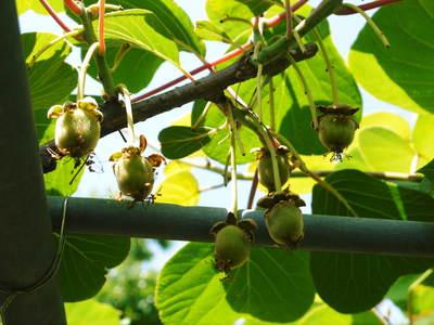 水源キウイ 開花から交配、着果、そして摘果作業の話し(2020年) _a0254656_195023.jpg