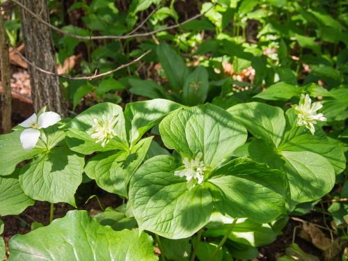 今年で7年目・・「奇形のオオバナノエンレイソウ」が咲いています。_f0276498_23052059.jpg