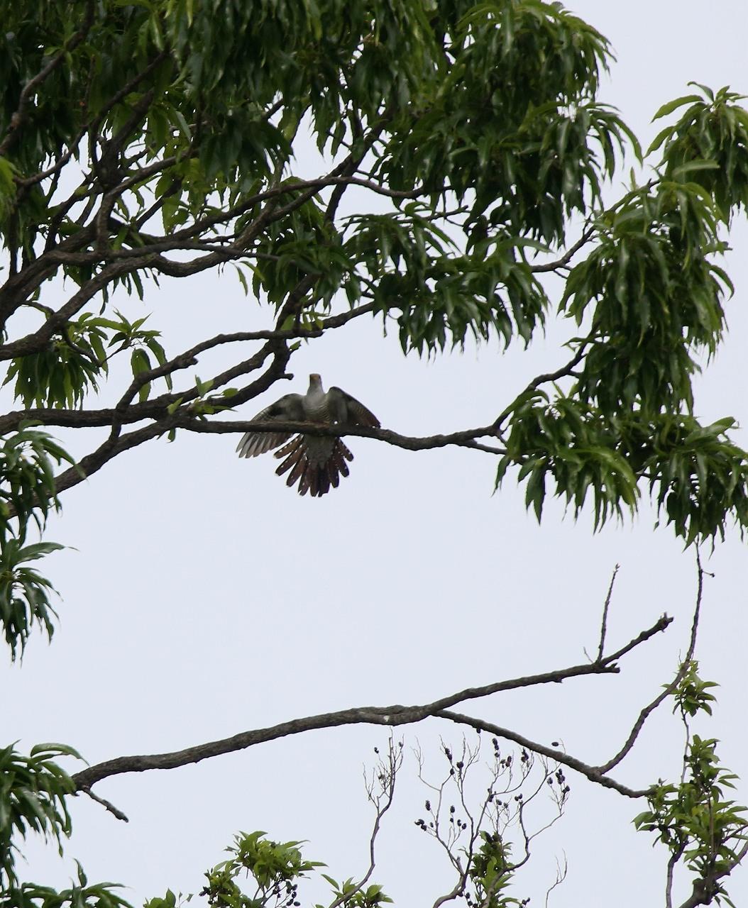 カッコウの飛びつき_f0296999_16132552.jpg
