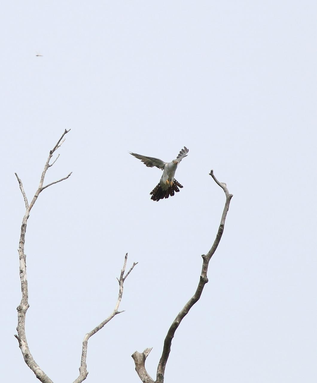 カッコウの飛びつき_f0296999_16134192.jpg
