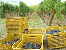 Poggio Scalette ワイン作り_a0112221_11302365.jpg