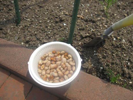 ポタジェの始まり~いんげん豆を蒔いた_a0279743_1256453.jpg