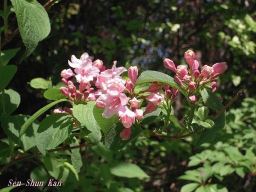 ウツギの花 2015年5月26日_a0164068_13472269.jpg