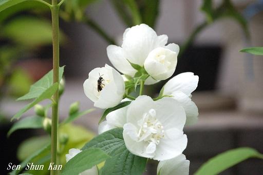 ウツギの花 2015年5月26日_a0164068_1347414.jpg