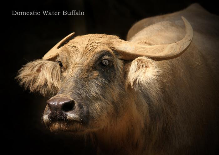アジアスイギュウ:Domestic Water Buffalo_b0249597_547348.jpg