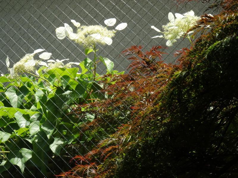 西本クリニック通院 & 夏野菜にネット張り_c0108460_21055187.jpg