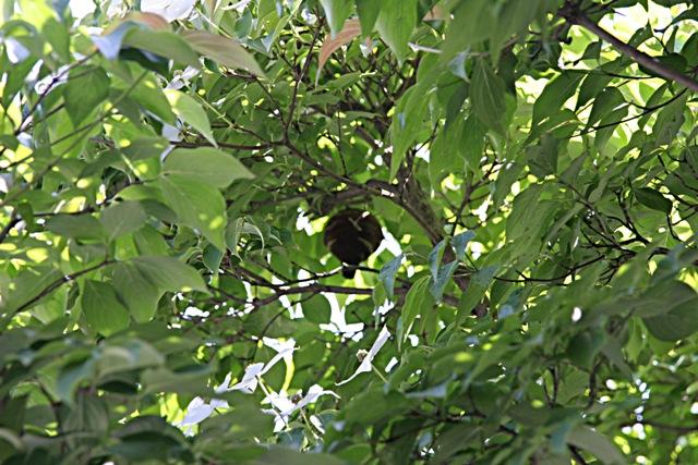 コガタスズメバチが 巣を 作っていた。_f0229190_10523987.jpg