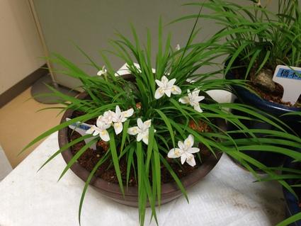 『 郡山市の花  はなかつみ 』_f0259324_18462359.jpg