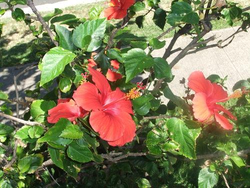 花の綺麗な..ハワイ!_b0137932_6582663.jpg