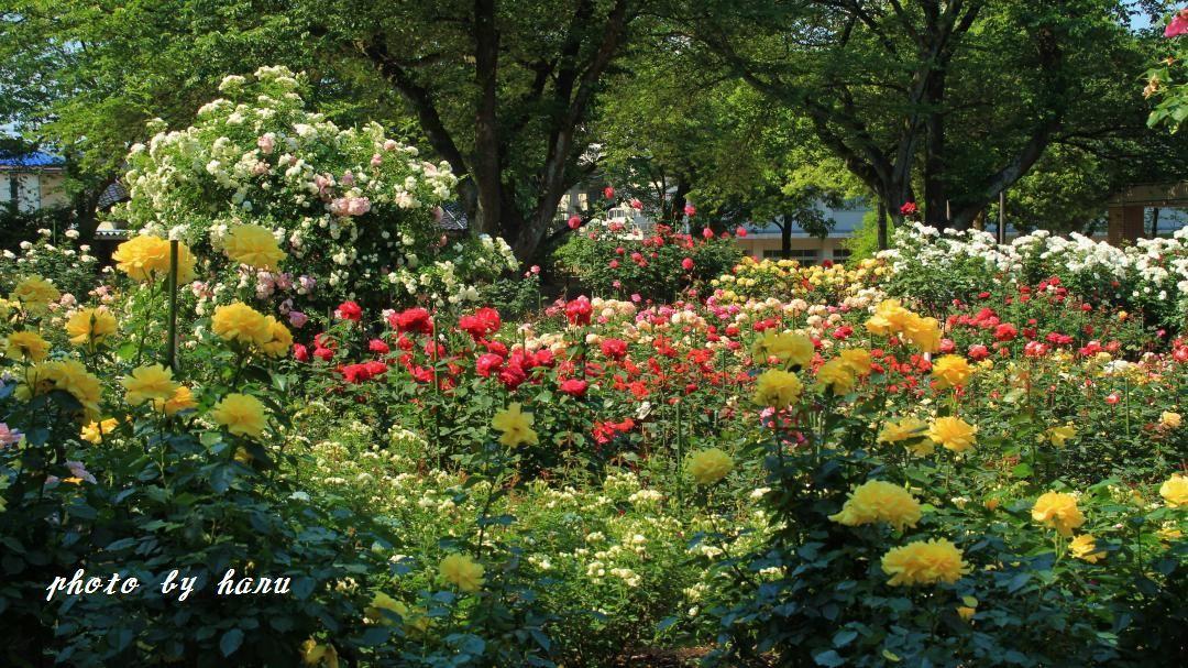 薔薇咲き揃う_f0297537_06123600.jpg
