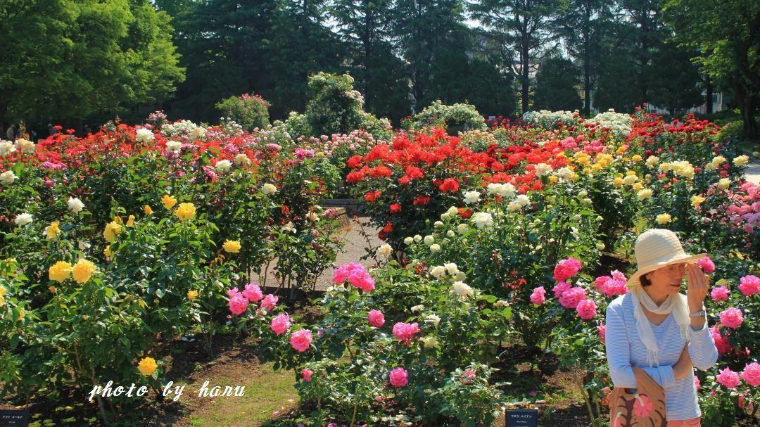 薔薇咲き揃う_f0297537_06123997.jpg