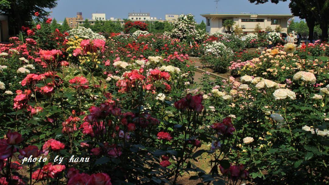 薔薇咲き揃う_f0297537_06124386.jpg
