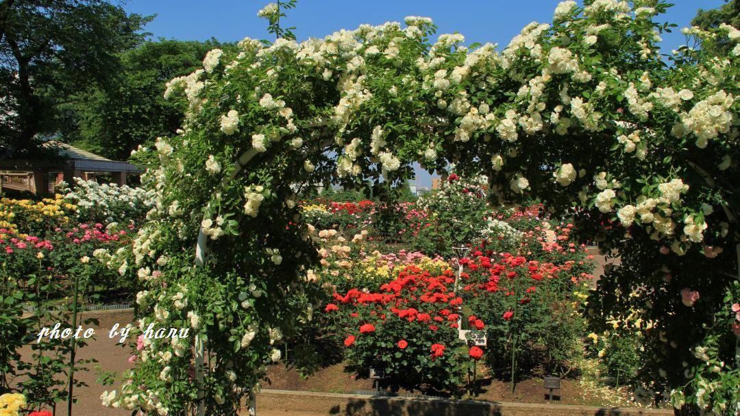 薔薇咲き揃う_f0297537_06124649.jpg