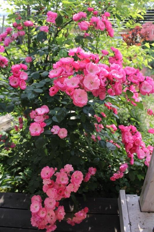 バラの季節_b0132338_13201079.jpg