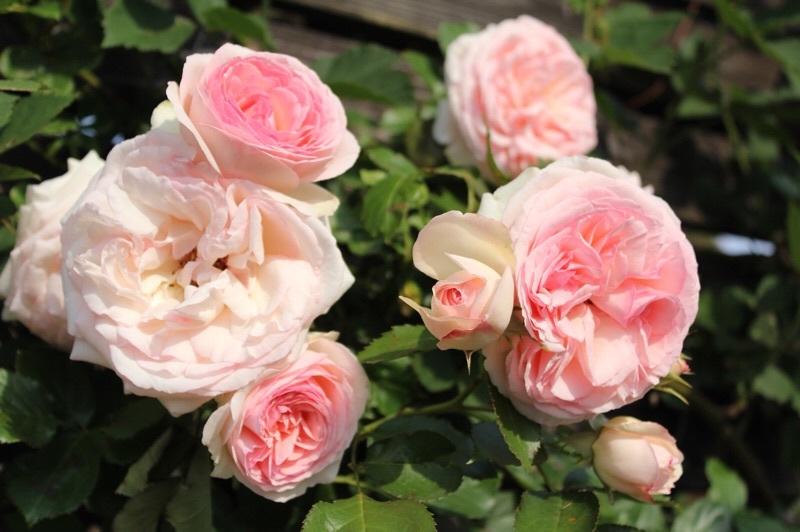 バラの季節_b0132338_13202297.jpg