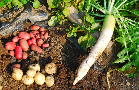 胡瓜、ジャガイモ、ニンジン初収穫も里芋マルチ焼け5・27_c0014967_1723717.jpg