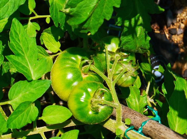 胡瓜、ジャガイモ、ニンジン初収穫も里芋マルチ焼け5・27_c0014967_1725931.jpg