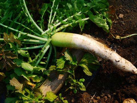 胡瓜、ジャガイモ、ニンジン初収穫も里芋マルチ焼け5・27_c0014967_17263033.jpg