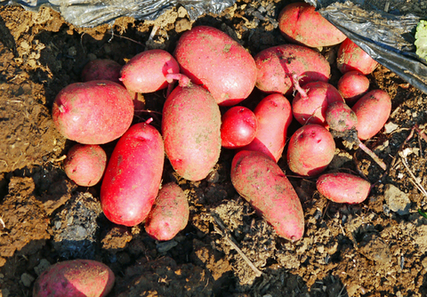 胡瓜、ジャガイモ、ニンジン初収穫も里芋マルチ焼け5・27_c0014967_17284697.jpg