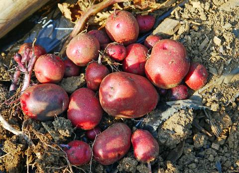 胡瓜、ジャガイモ、ニンジン初収穫も里芋マルチ焼け5・27_c0014967_17292084.jpg