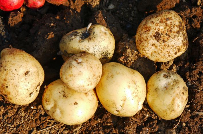 胡瓜、ジャガイモ、ニンジン初収穫も里芋マルチ焼け5・27_c0014967_1729289.jpg