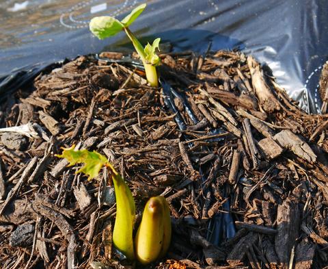 胡瓜、ジャガイモ、ニンジン初収穫も里芋マルチ焼け5・27_c0014967_1730354.jpg