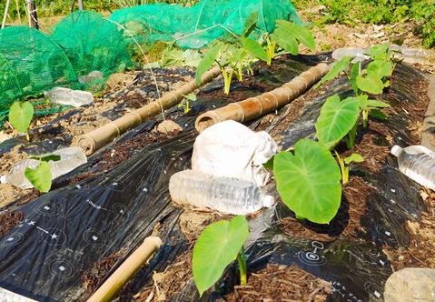 胡瓜、ジャガイモ、ニンジン初収穫も里芋マルチ焼け5・27_c0014967_1730474.jpg