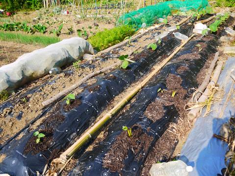 胡瓜、ジャガイモ、ニンジン初収穫も里芋マルチ焼け5・27_c0014967_1731878.jpg