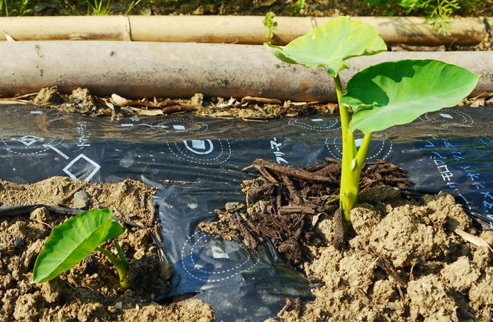 胡瓜、ジャガイモ、ニンジン初収穫も里芋マルチ焼け5・27_c0014967_17355321.jpg