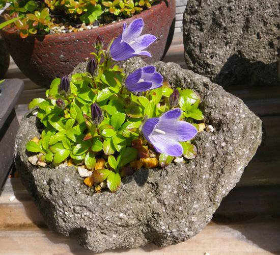 チシマギキョウ 石鉢植え♪_a0136293_19145281.jpg