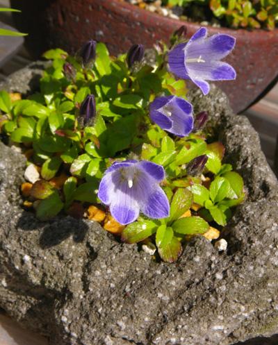 チシマギキョウ 石鉢植え♪_a0136293_1972668.jpg