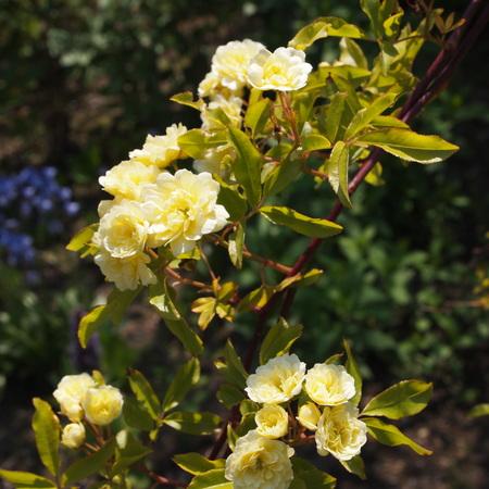 我が家の庭にも木香バラが_a0292194_21464962.jpg