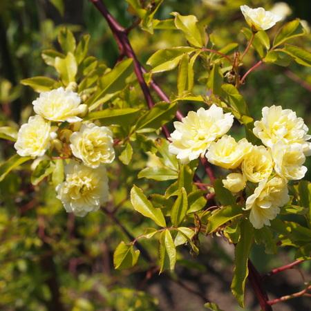我が家の庭にも木香バラが_a0292194_2192950.jpg