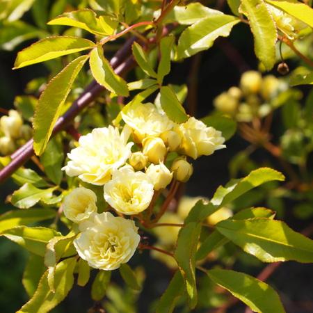 我が家の庭にも木香バラが_a0292194_2194422.jpg