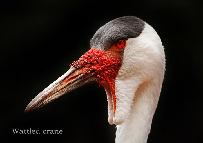 ホオカザリヅル:Wattled crane_b0249597_5281450.jpg
