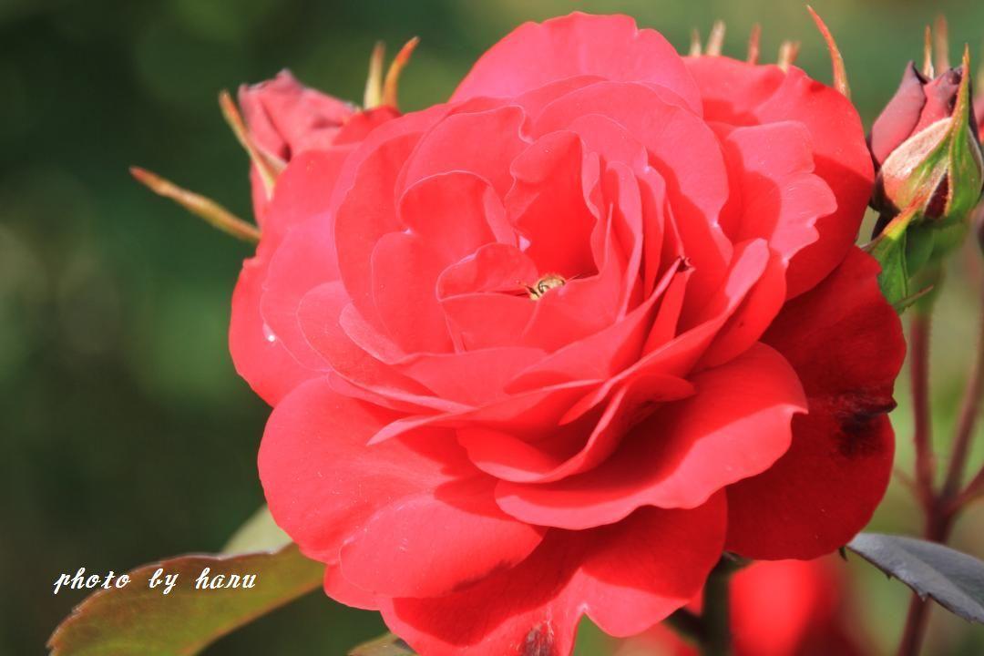 奥卯辰山健民公園の薔薇園_f0297537_08113208.jpg