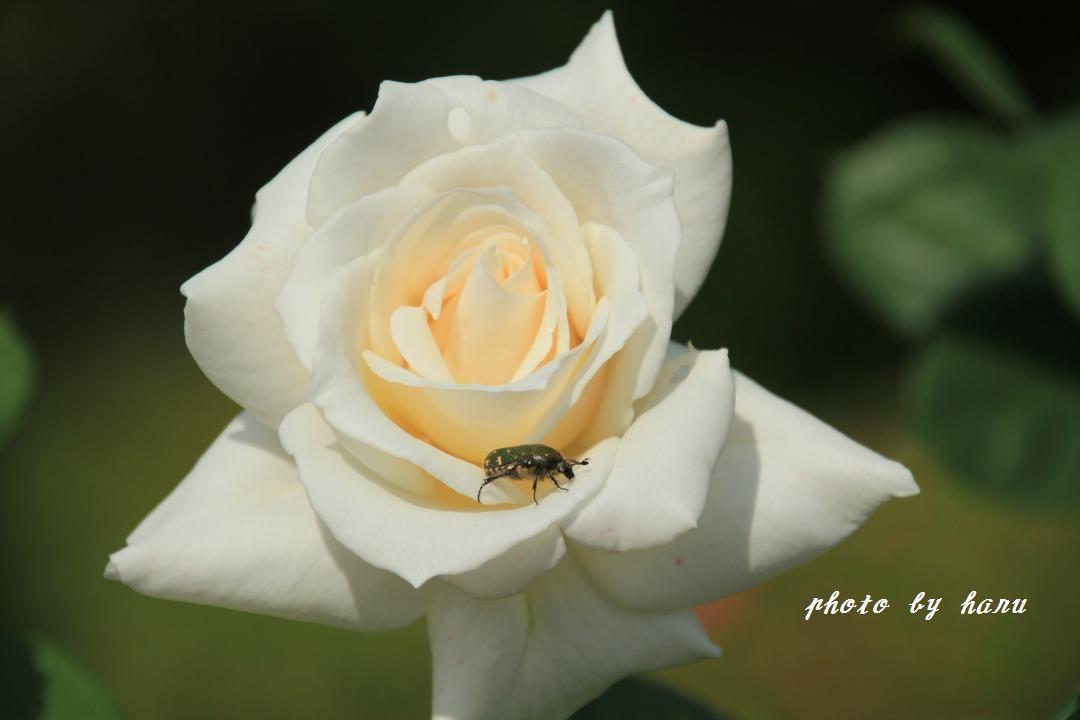 奥卯辰山健民公園の薔薇園_f0297537_08113605.jpg