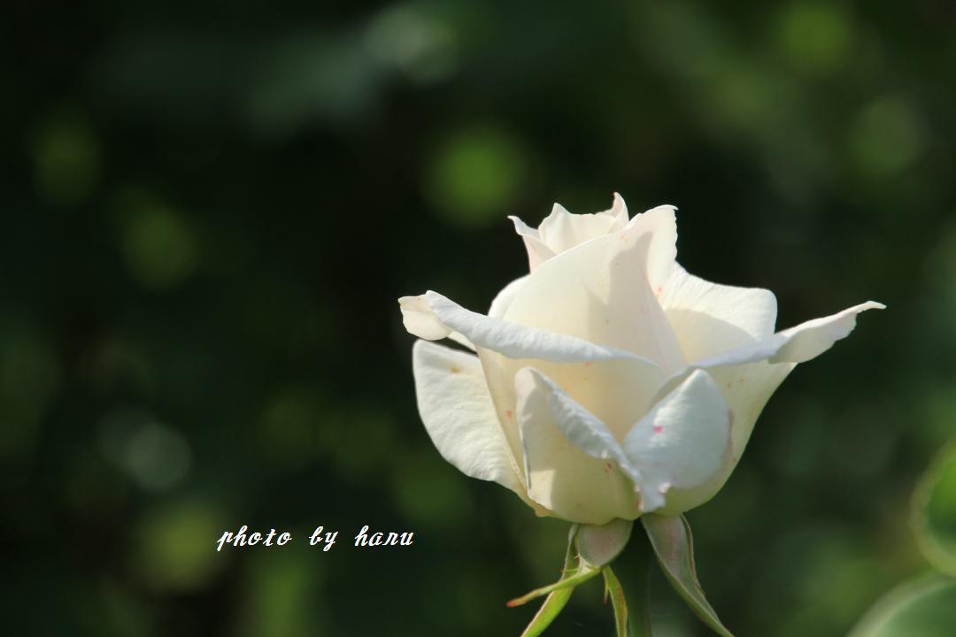 奥卯辰山健民公園の薔薇園_f0297537_08114099.jpg