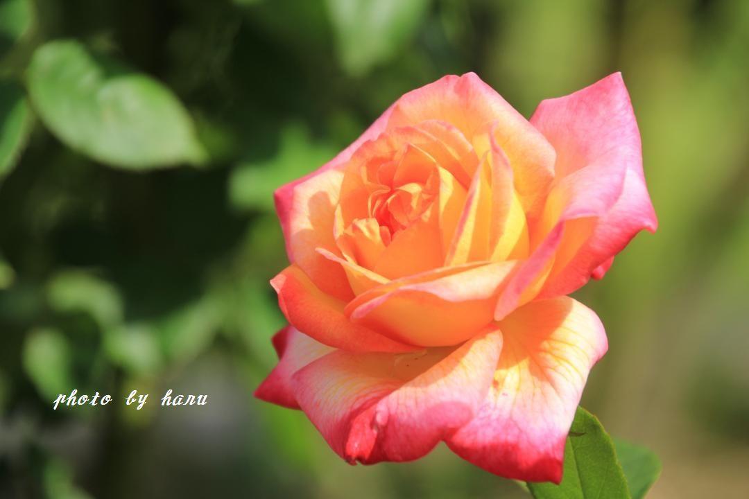 奥卯辰山健民公園の薔薇園_f0297537_08114304.jpg