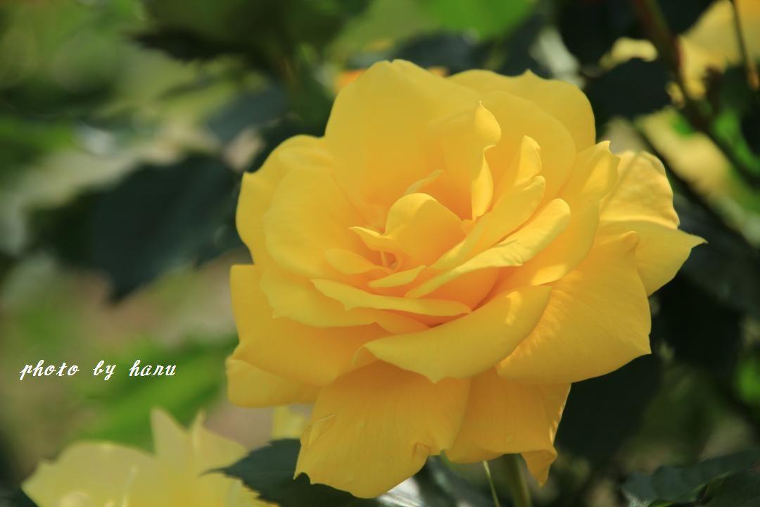 奥卯辰山健民公園の薔薇園_f0297537_08114608.jpg