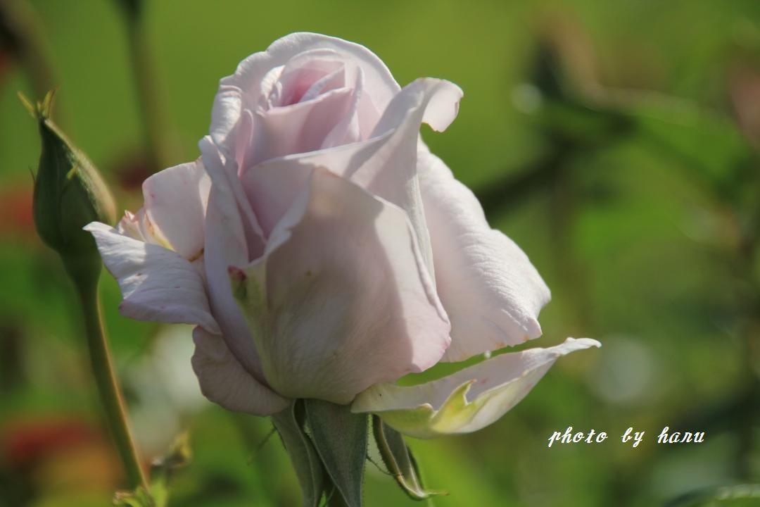奥卯辰山健民公園の薔薇園_f0297537_08114966.jpg