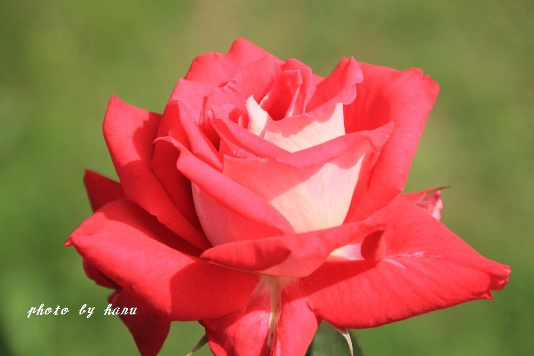 奥卯辰山健民公園の薔薇園_f0297537_08115262.jpg