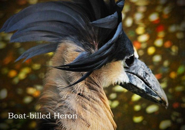 ヒロハシサギ:Boat-billed Heron_b0249597_5252449.jpg